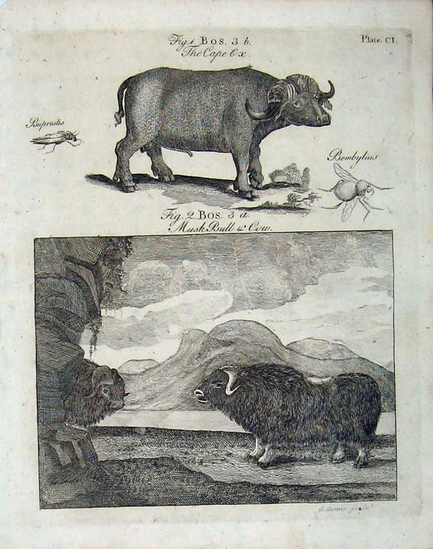 Print Encyclopaedia Britannica 1801 Musk Bull Cow Animals 107E101 Old Original