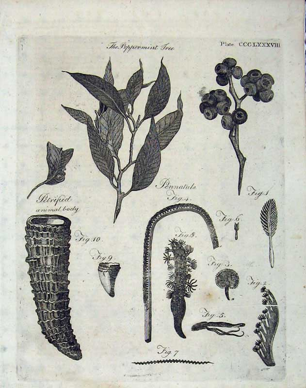 Print Encyclopaedia Britannica 1801 Tree Plants Pennatula 293E101 Old Original