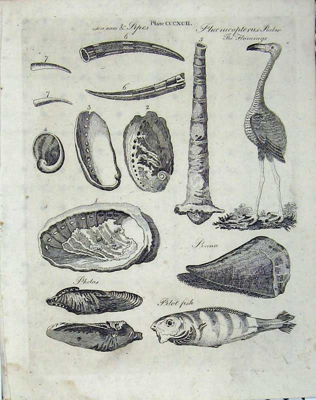 Print Encyclopaedia Britannica Flamingo 1801 Fish Shells 298E101 Old Original