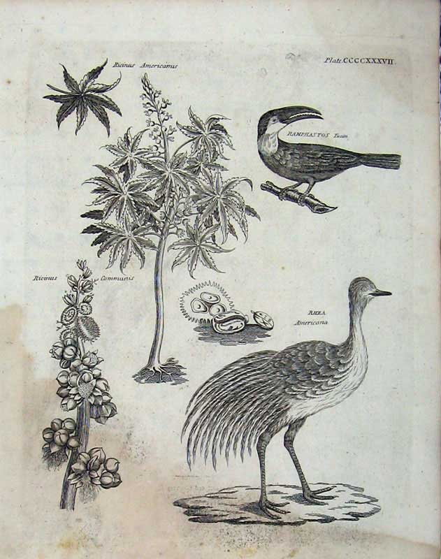 Print Encyclopaedia Britannica 1801 Nature Birds Rhea Tucan 390E101 Old Original