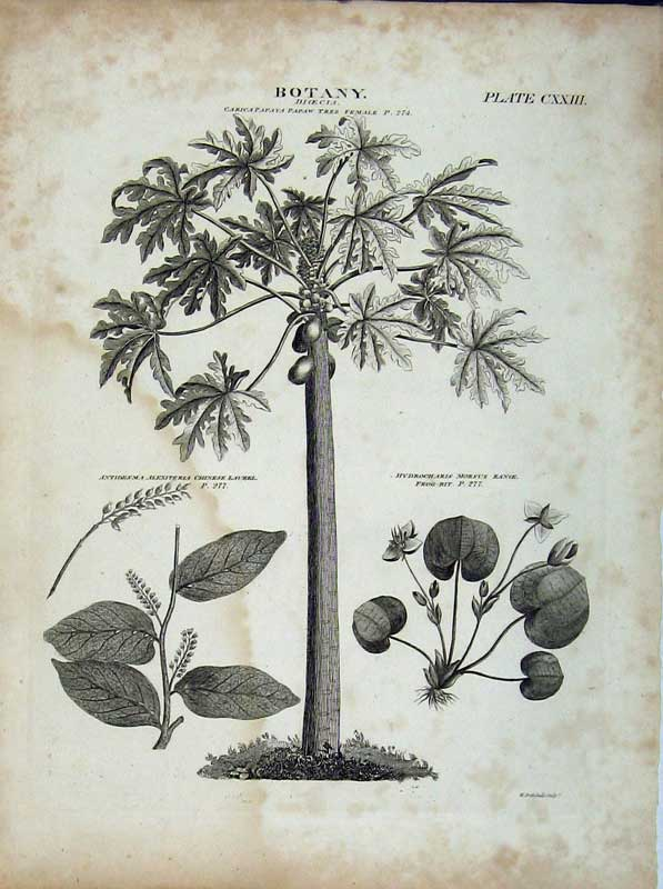Print Papaw Tree Laurel Plant Encyclopaedia Britannica Botany 142E102 Old Original