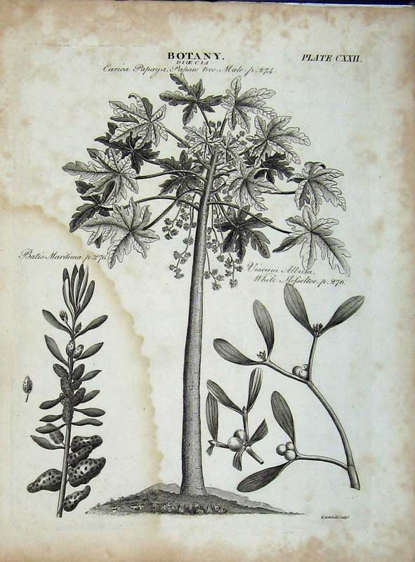 Print Encyclopaedia Britannica Botany Papan Tree Mistletoe 143E102 Old Original