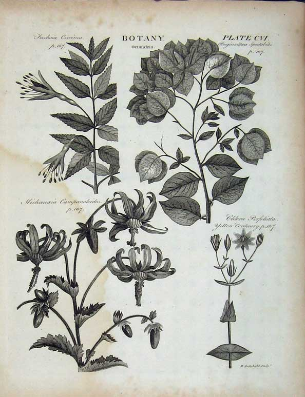 Print Encyclopaedia Britannica Botany Plants Octandria Nature 161E102 Old Original