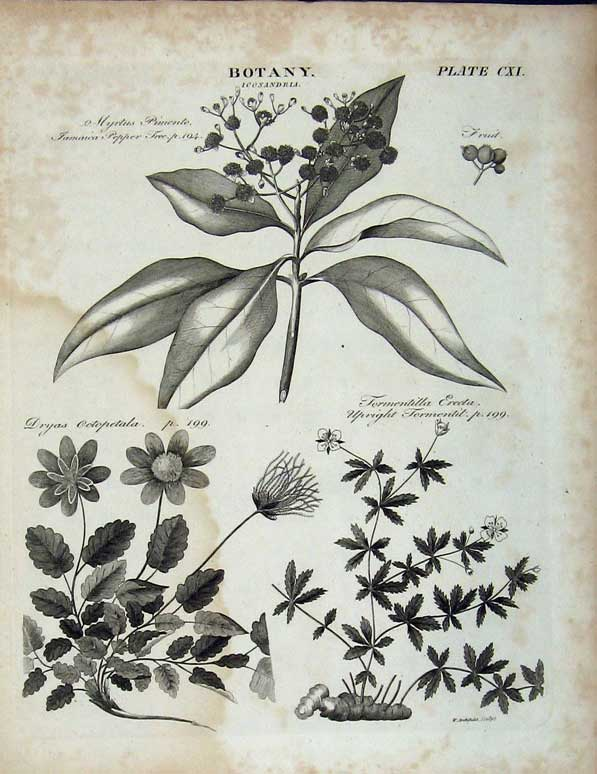 Print Encyclopaedia Britannica Botany Pepper Tree Plants 166E102 Old Original