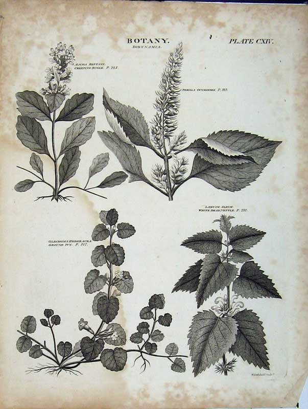 Print Encyclopaedia Britannica Botany Didynamia Plants Nature 169E102 Old Original