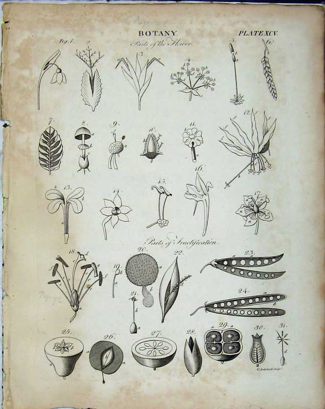 Print Encyclopaedia Britannica Botany Flowers Plants Leaves 171E102 Old Original