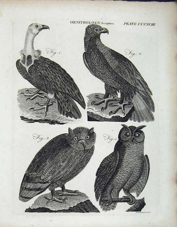 Print Encyclopaedia Britannica Ornithology Birds Accipitres 234E102 Old Original