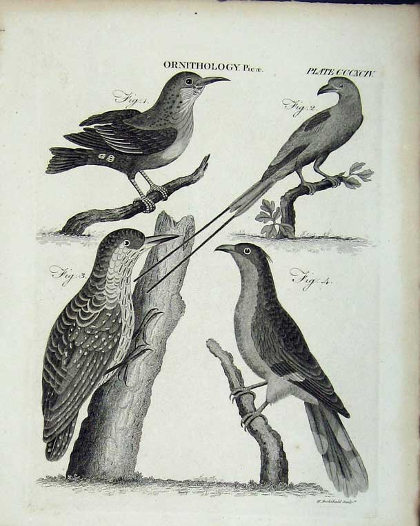 Print Encyclopaedia Britannica Ornithology Birds Picae Nature 235E102 Old Original