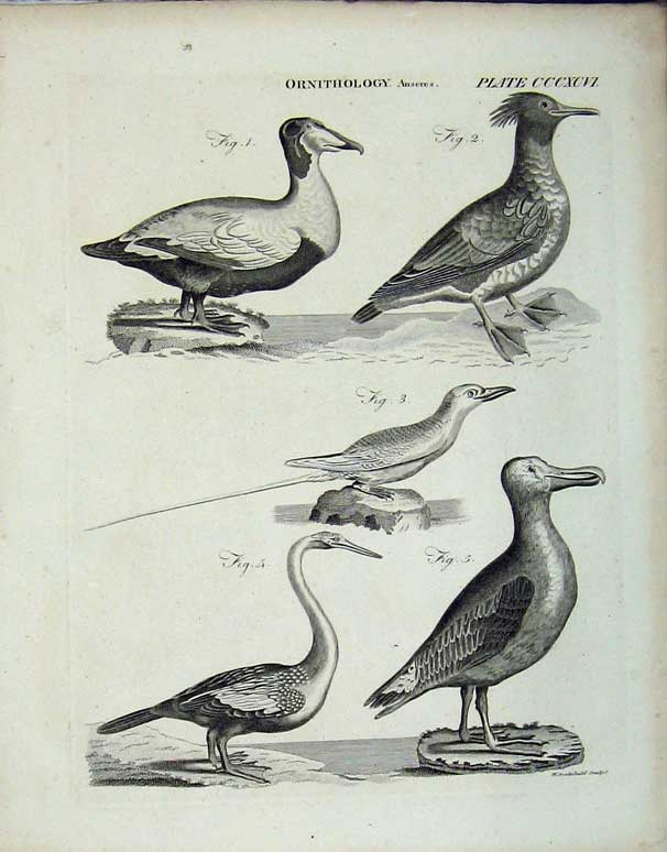 Print Encyclopaedia Britannica Ornithology Birds Anseres 237E102 Old Original