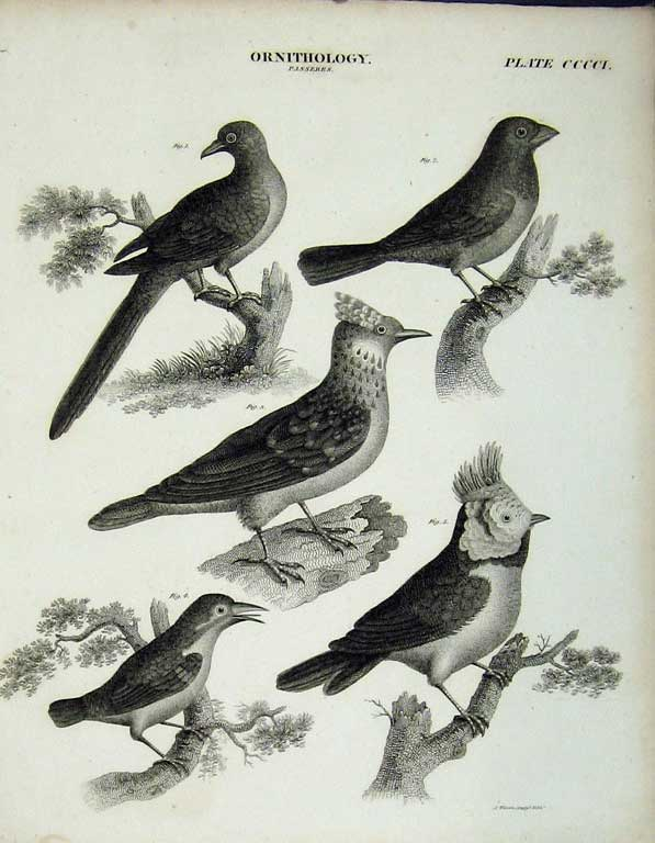 Print Encyclopaedia Britannica Ornithology Birds Passeres 242E102 Old Original