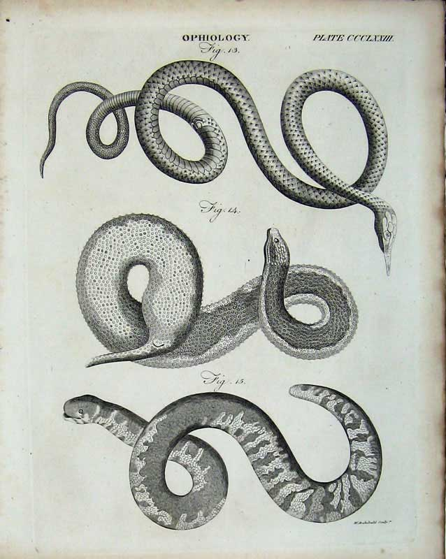 Print Encyclopaedia Britannica Ophiology Snake Reptile Animal 261E103 Old Original
