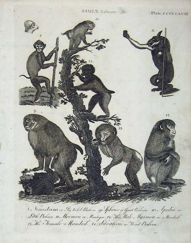 Print Simla Monkeys Encyclopaedia Britannica Mammals Nature 120E104 Old Original