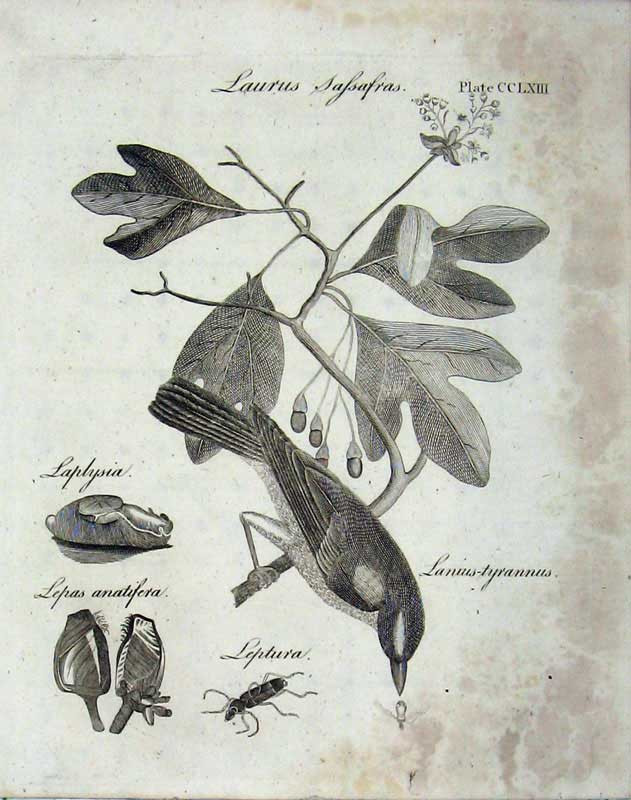 Print Encyclopaedia Britannica Laurus Plants Bird Insects 177E104 Old Original