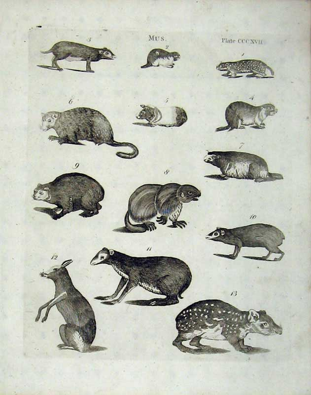 Print Rats Rodents Mammals Animals Encyclopaedia Britannica 190E104 Old Original