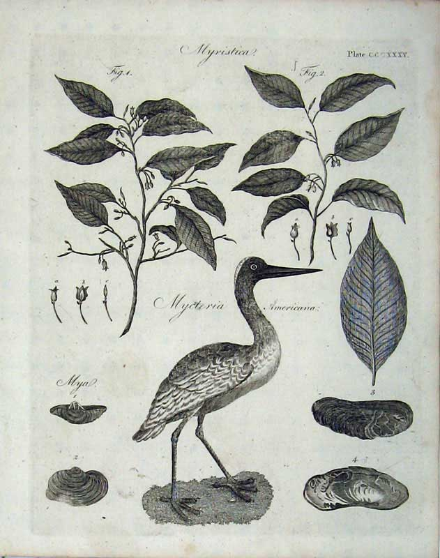 Print Myristica Plants Birds Encyclopaedia Britannica Nature 207E104 Old Original