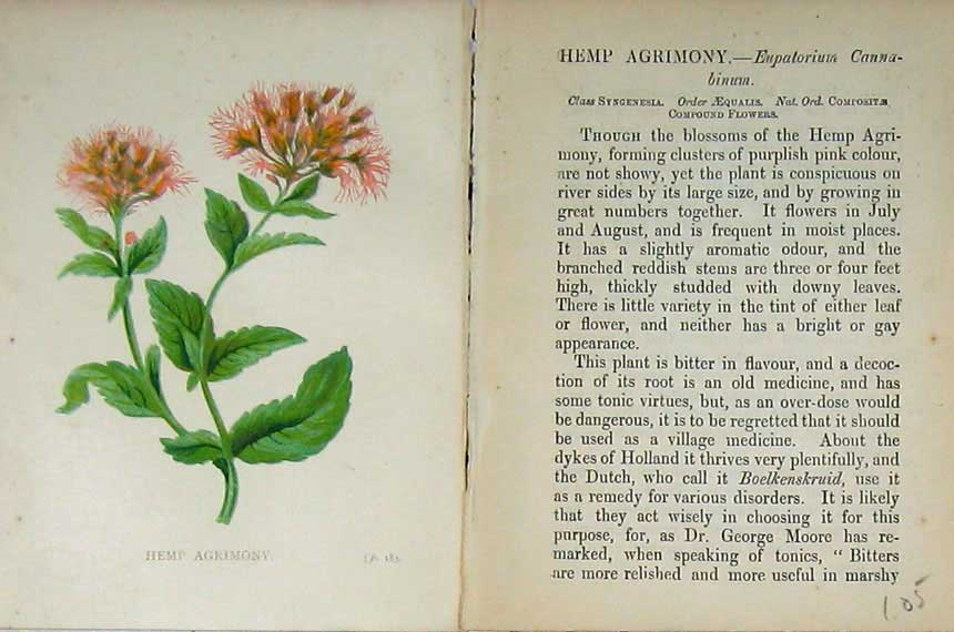 Print Hemp Agrimony Wild Flowers Anne Pratt Colour 105E106 Old Original