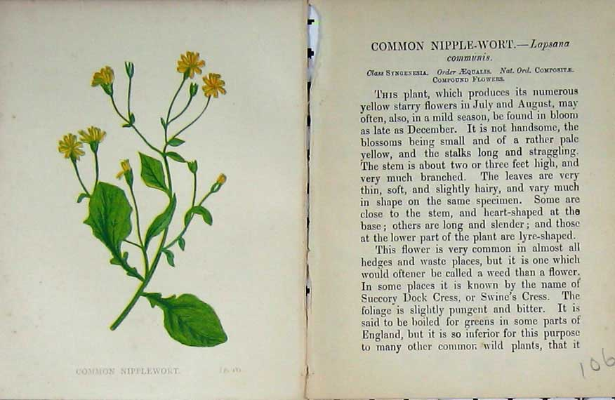 Print Wild Flowers Anne Pratt Common Nipplewort Colour 106E106 Old Original