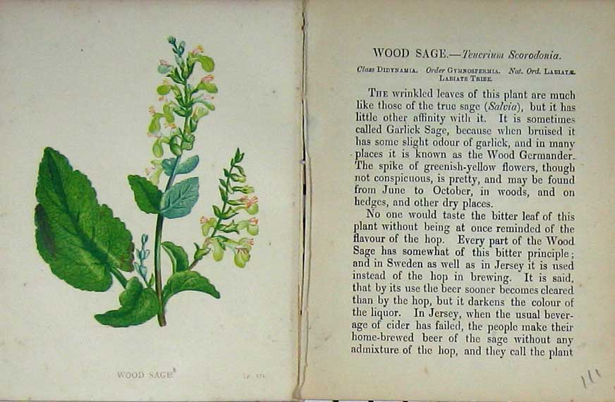 Print Wild Flowers Anne Pratt Wood Sage Colour Nature 111E106 Old Original