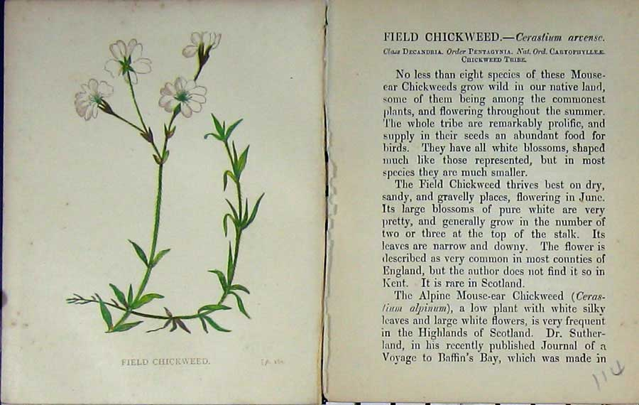 Print Wild Flowers Anne Pratt Field Chickweed Colour 114E106 Old Original