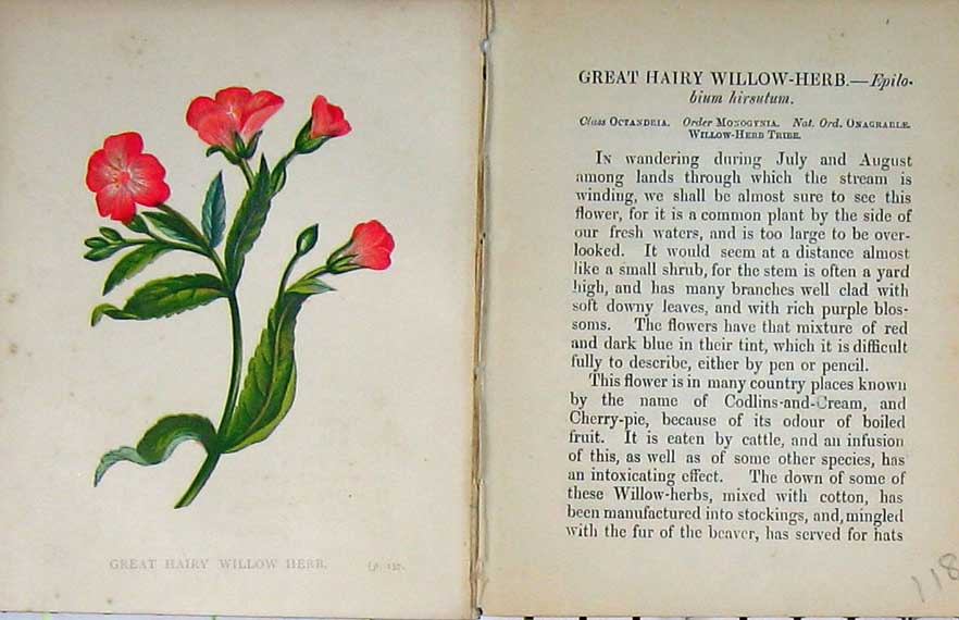 Print Wild Flowers Anne Pratt Great Hairy Willow Herb Colour 118E106 Old Original