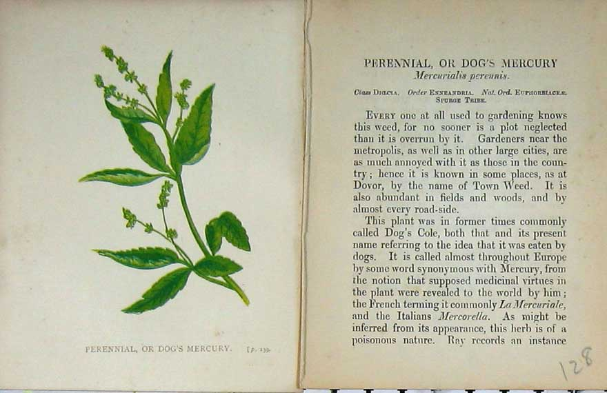 Print Wild Flowers Anne Pratt Perennial Dog'S Mercury Colour 128E106 Old Original