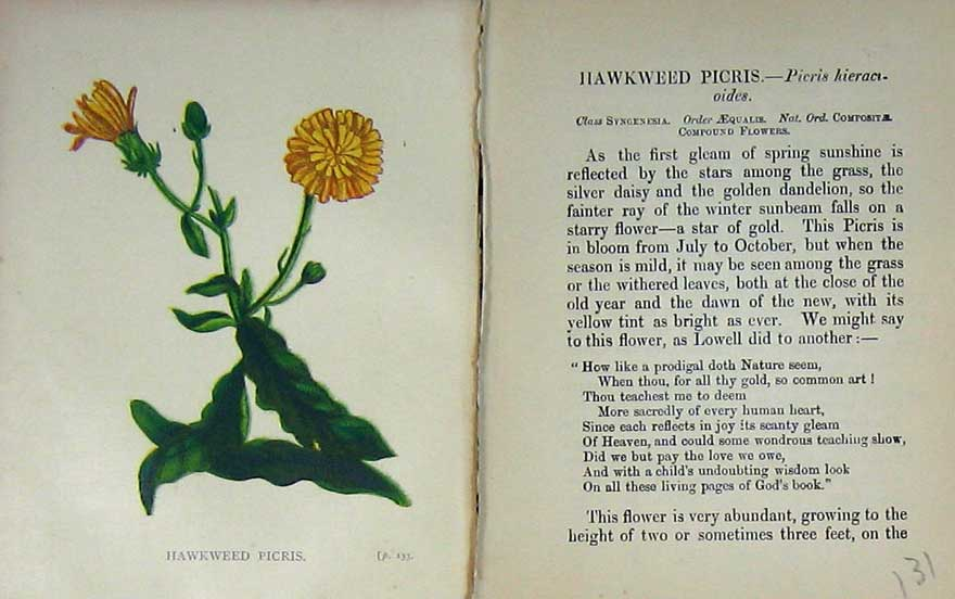 Print Wild Flowers Anne Pratt Hawkweed Picris Colour 131E106 Old Original