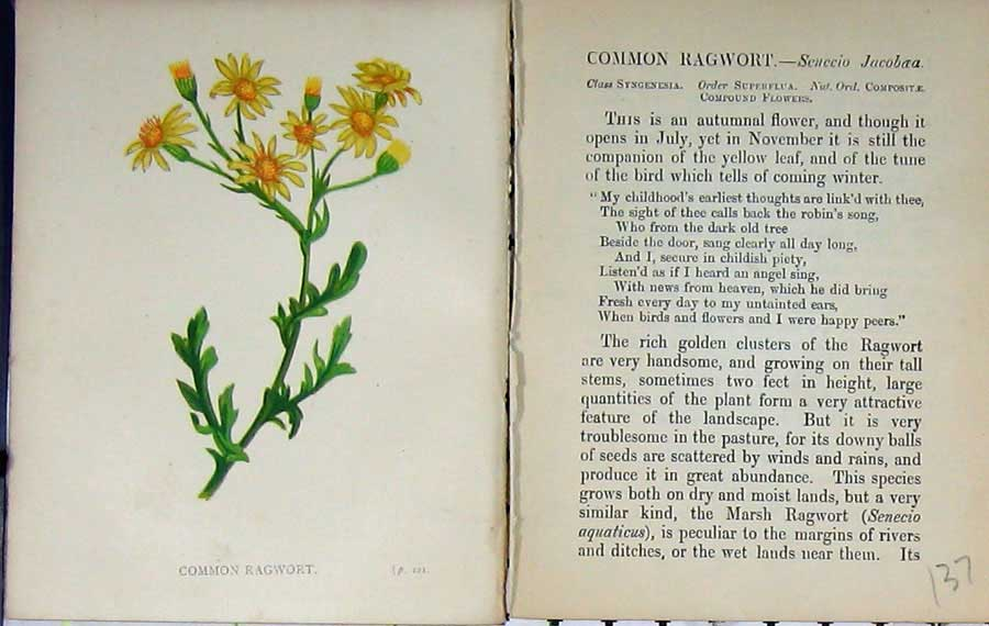 Print Wild Flowers Anne Pratt Common Ragwort Colour 137E106 Old Original