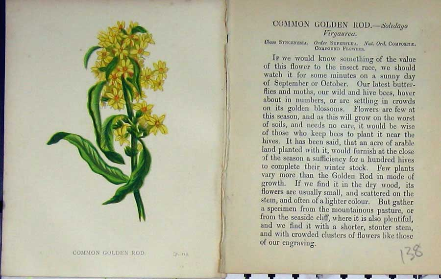 Print Wild Flowers Anne Pratt Common Golden Rod Colour 138E106 Old Original