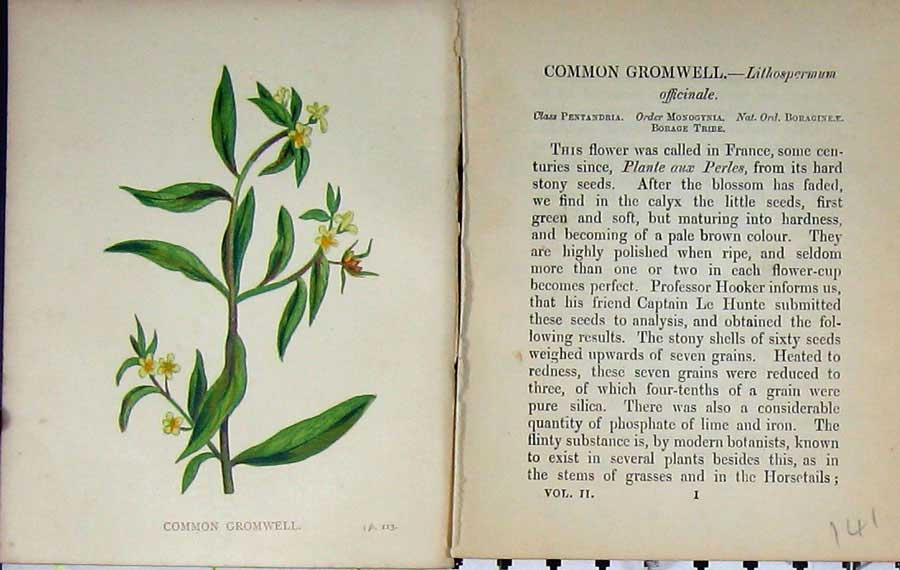 Print Wild Flowers Anne Pratt Common Gromwell Colour 141E106 Old Original