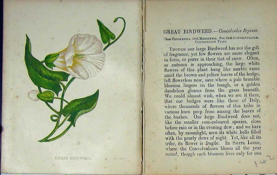 Print Great Bindweed Wild Flowers Anne Pratt Colour 142E106 Old Original
