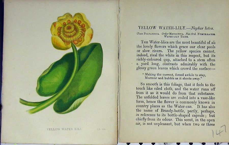 Print Wild Flowers Anne Pratt Yellow Water Lily Colour 147E106 Old Original