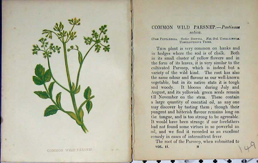 Print Wild Flowers Anne Pratt Common Wild Parsnip Colour 149E106 Old Original
