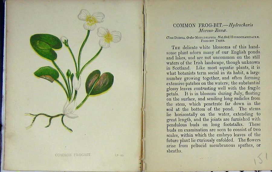 Print Wild Flowers Anne Pratt Common Frogbit Colour 151E106 Old Original