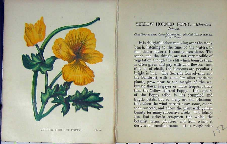 Print Wild Flowers Anne Pratt Yellow Horned Poppy Colour 152E106 Old Original
