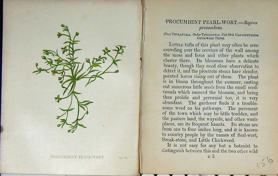Print Procumbent Pearl-Wort Wild Flowers Anne Pratt Colour 156E106 Old Original