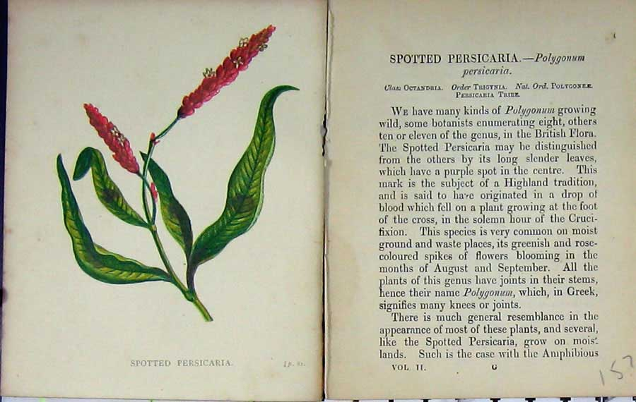 Print Wild Flowers Anne Pratt Spotted Persicaria Colour 157E106 Old Original