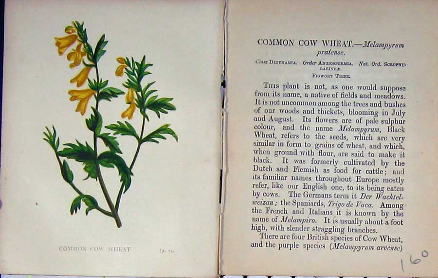 Print Wild Flowers Anne Pratt Common Cow Wheat Colour 160E106 Old Original