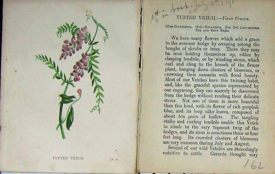Print Wild Flowers Anne Pratt Tufted Vetch Colour 162E106 Old Original