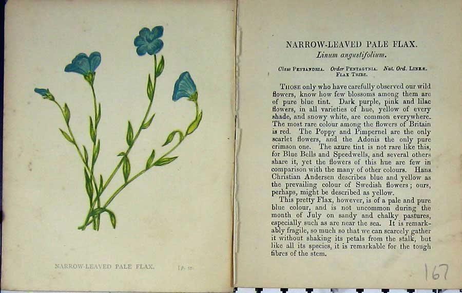 Print Wild Flowers Anne Pratt Narrow-Leaved Pale Flax Colour 167E106 Old Original