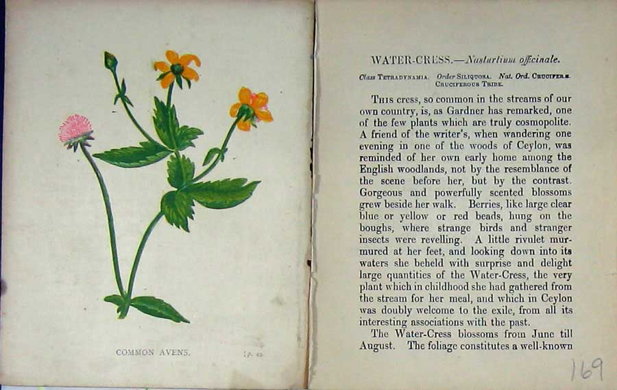 Print Wild Flowers Anne Pratt Common Avens Colour 169E106 Old Original