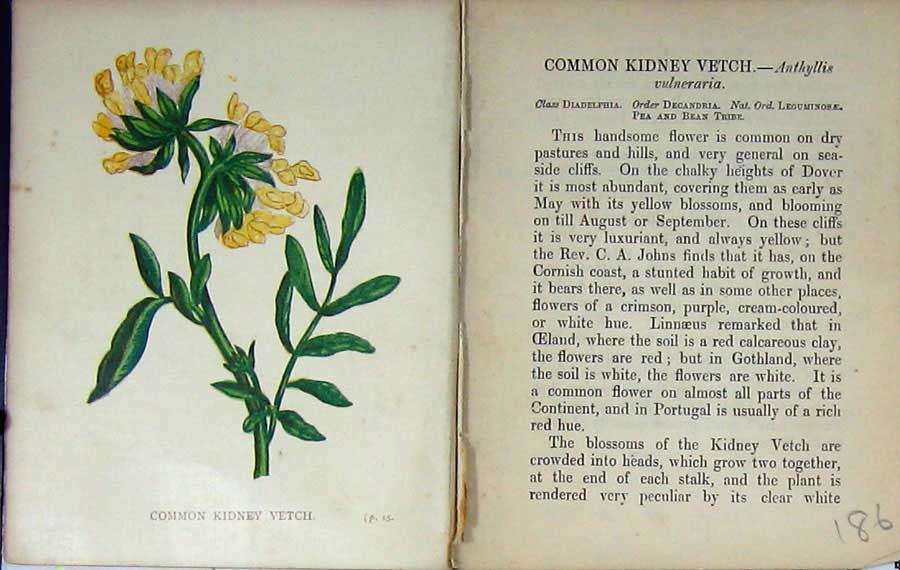 Print Wild Flowers Anne Pratt Common Kidney Vetch Colour 186E106 Old Original