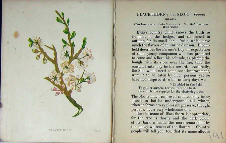 Print Wild Flowers Anne Pratt Blackthorn Sloe Nature Colour 191E106 Old Original