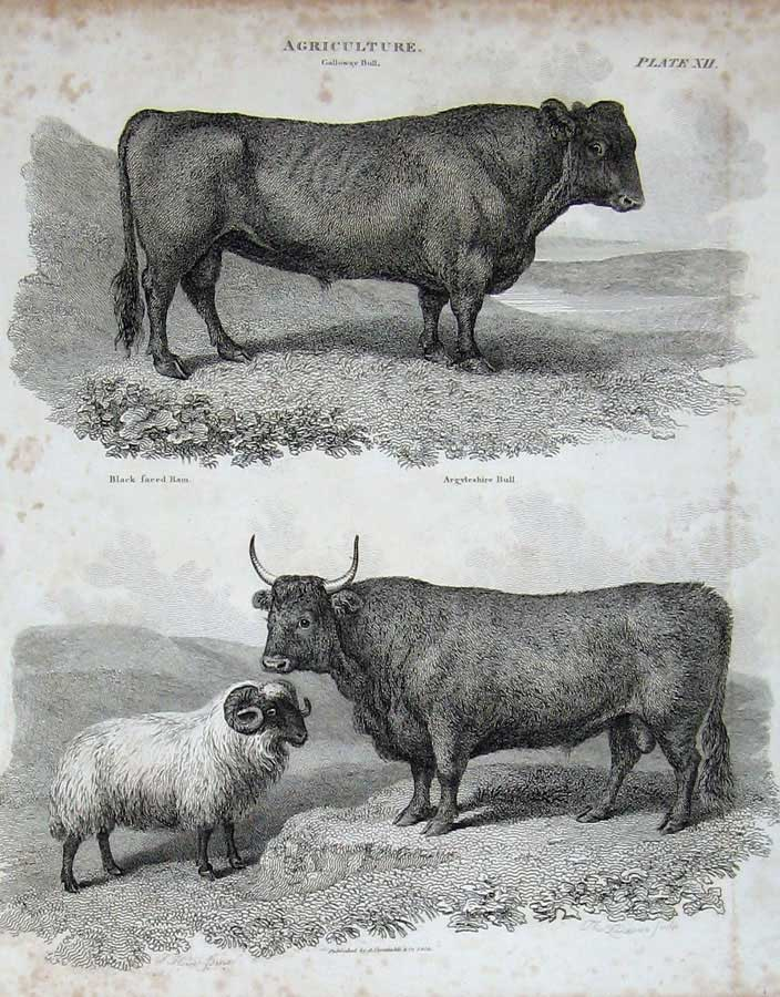 Print Encyclopaedia Britannica 1815 Agriculture Bull Sheep 112E116 Old Original