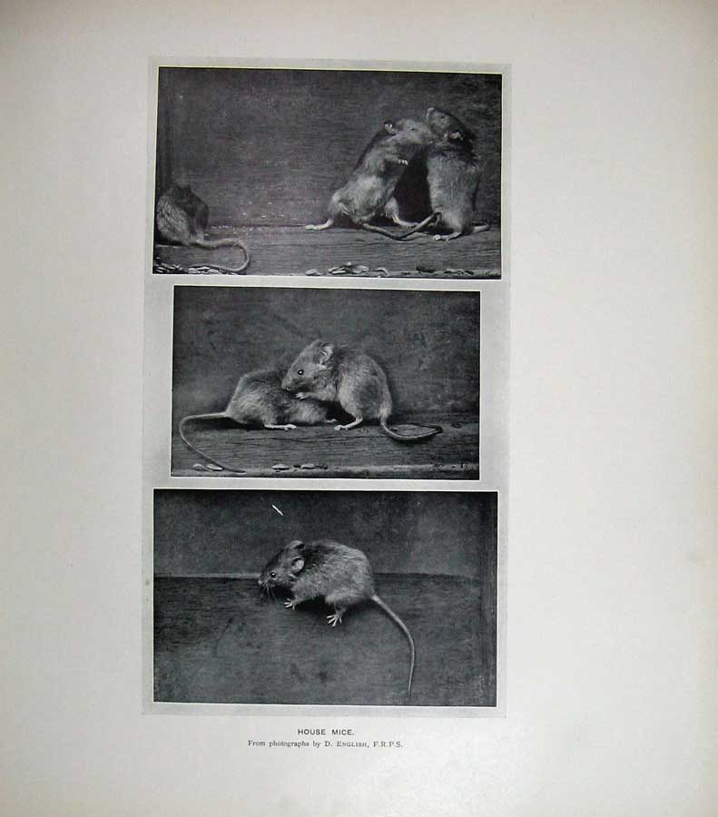 Print 1904 House Mice English Photograph Rodents Animals 112E120 Old Original