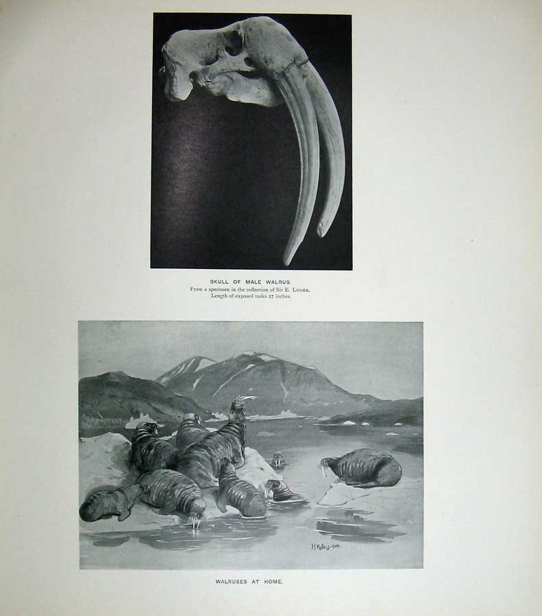 Print 1904 Skull Male Walrus Loder Drawing Mammals Nature Old Original