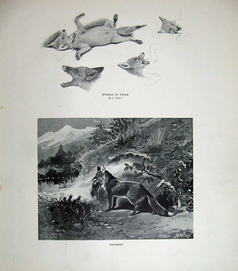 Print 1904 Millais Foxes Wolf Rabbit Hunting Mammals Nature Old Original
