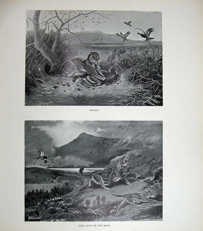 Print 1904 Wild Cats Hunting Birds Mountains Mammals Nature 184E120 Old Original
