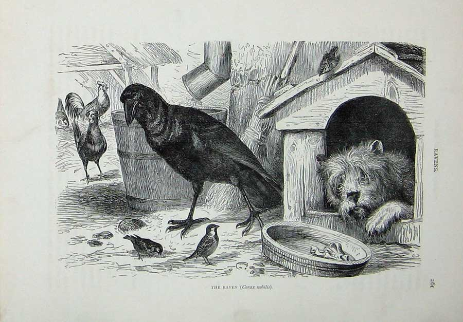 [Print Cassell'S Birds C1870 Raven Corax Nobilis Carrion Crow 139Re125 Old Original]