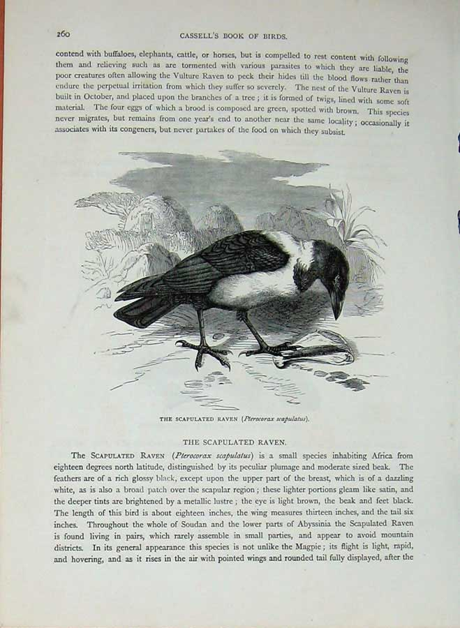 [Print Cassell'S Birds C1870 Scapulated Raven Vulture Nature 145Re125 Old Original]