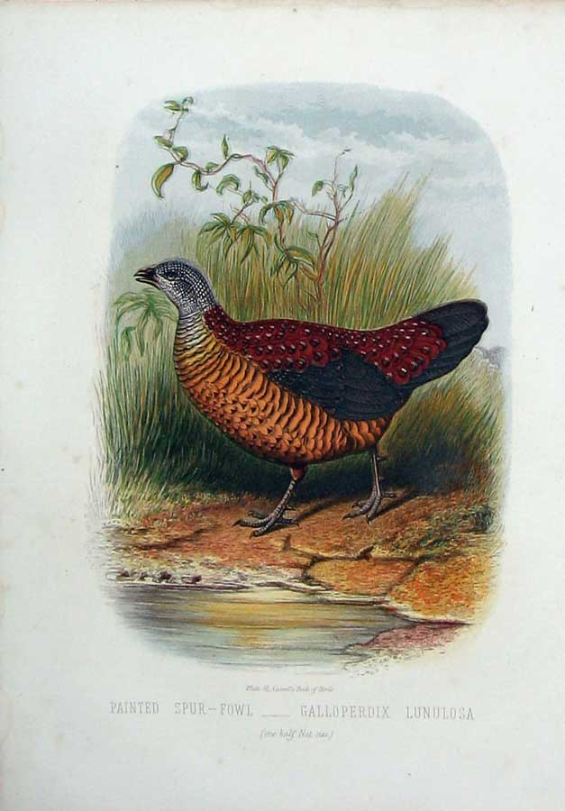 [Print Cassell'S Birds C1870 Painted Spur-Fowl Lunulosa Colour 164E125 Old Original]
